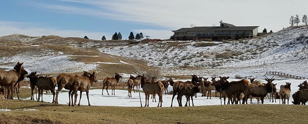 Elk on the Greens