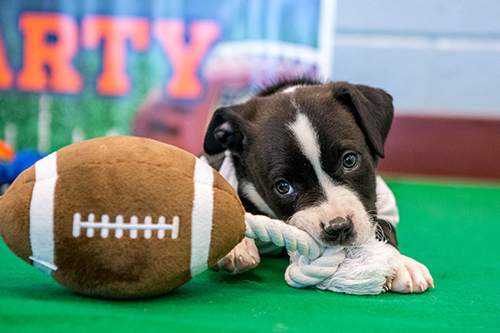 Puppy Bowl at Foothills Animal Shelter @ Foothills Animal Shelter | Golden | Colorado | United States