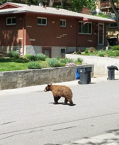 Bear in Golden