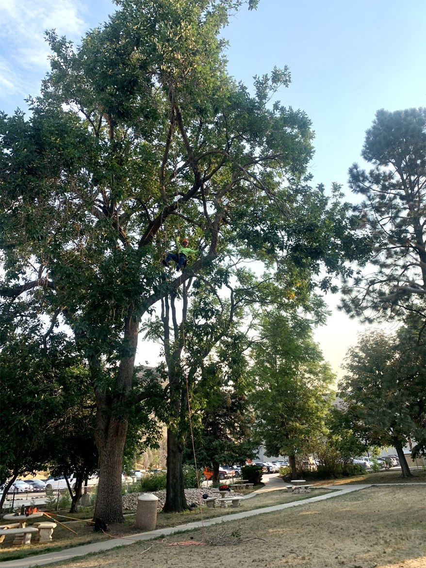 Arborist hangs high in a city park ash as he prepares for a much needed prune.