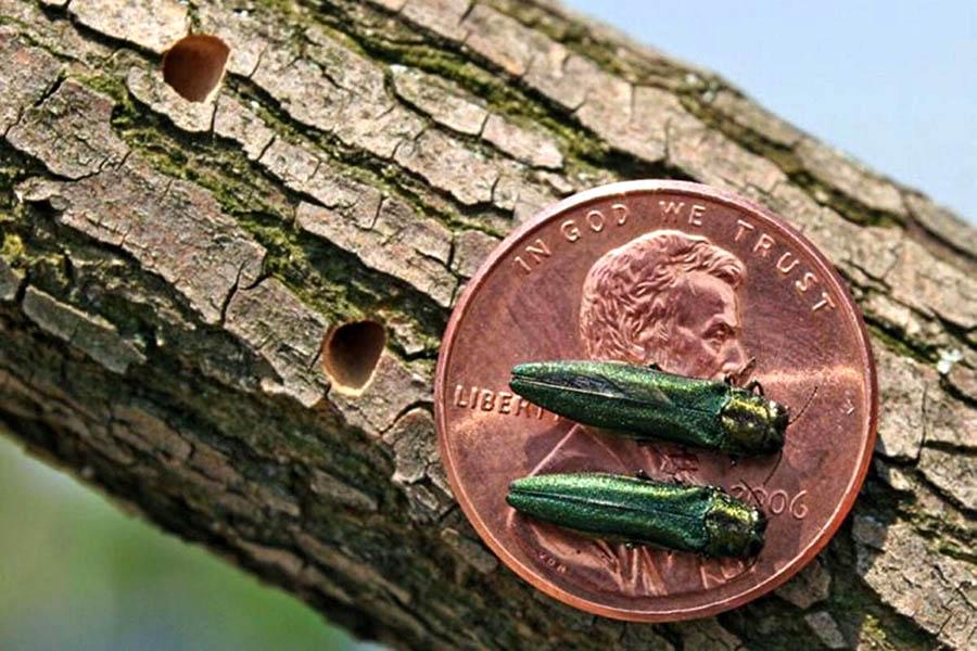 Emerald Ash Borer exit holes