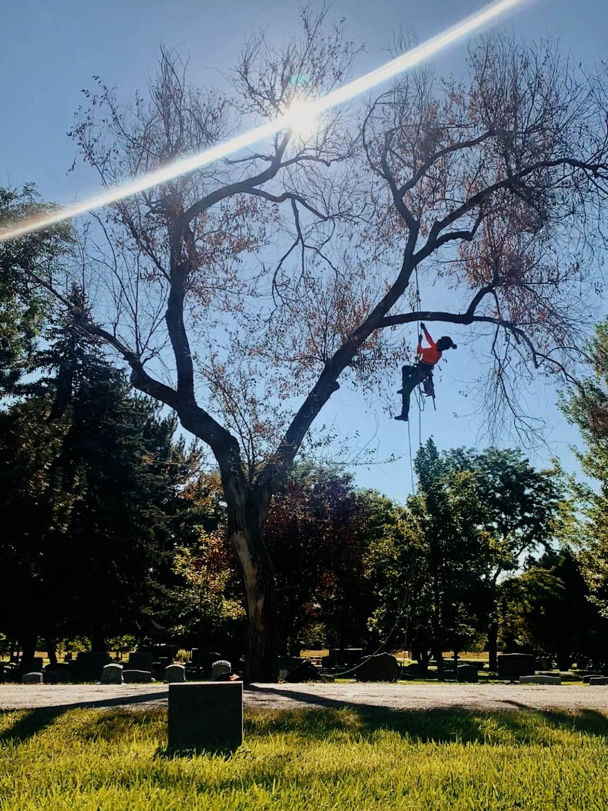 Arborist climbs into dead elm at the cemetery as she prepares for its compulsory removal.