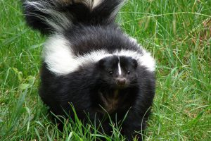 Skunks and rabies
